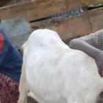 cabra-uganda-150x150
